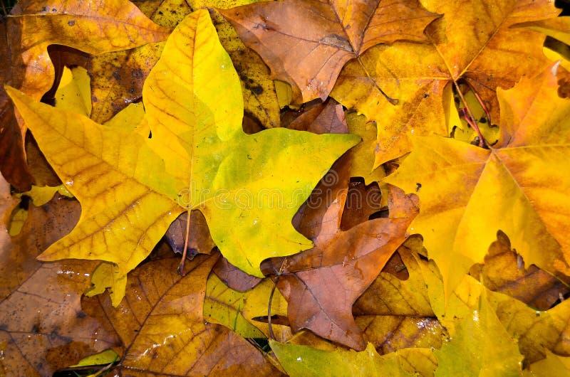 Foglie gialle, rosse, dorate e marroni sulla terra fotografia stock libera da diritti