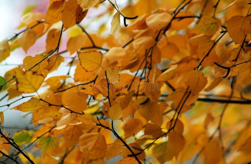 Foglie gialle scure della betulla di autunno immagine stock libera da diritti
