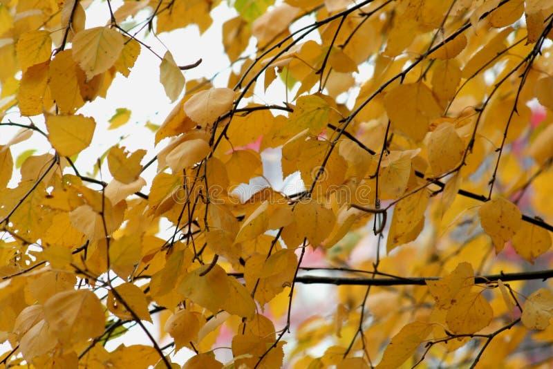 Foglie gialle scure della betulla di autunno fotografia stock libera da diritti