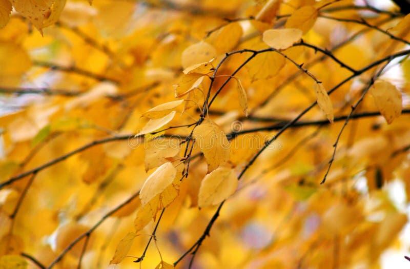 Foglie gialle scure della betulla di autunno immagini stock libere da diritti