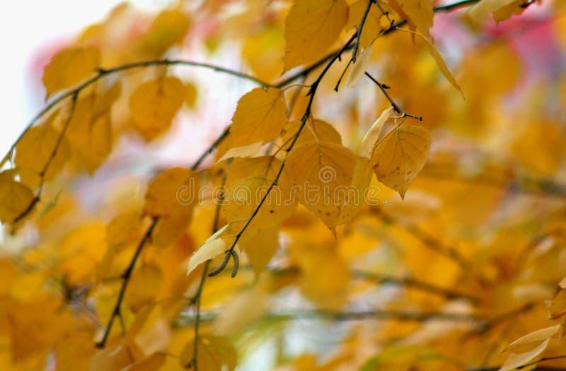 Foglie gialle scure della betulla di autunno fotografie stock