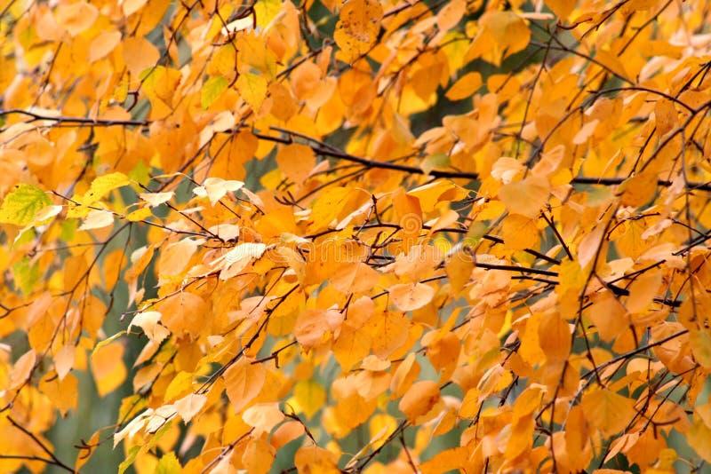 Foglie gialle scure della betulla di autunno fotografia stock