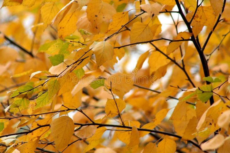 Foglie gialle scure della betulla di autunno immagini stock