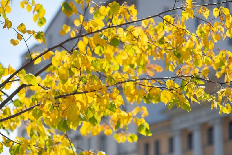 foglie gialle su un albero contro una costruzione della città immagine stock