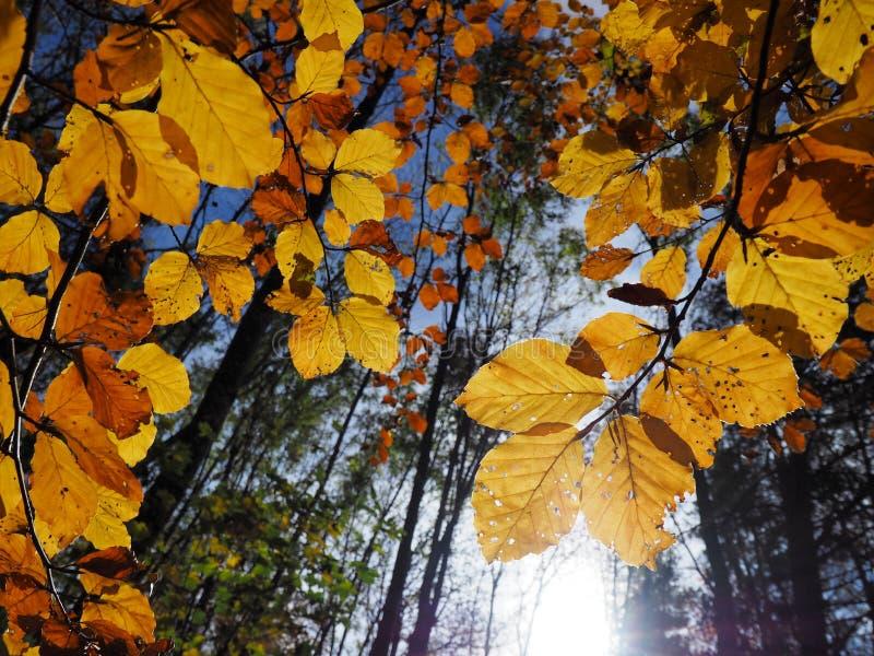 Foglie gialle variopinte del faggio che brillano alla luce solare fotografia stock
