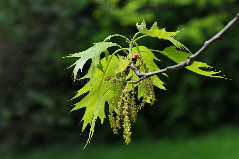 Foglie giallo verde della molla e sbiadire i fiori appesi della quercia rossa nordica, quercus rubra latino di nome, immagini stock libere da diritti