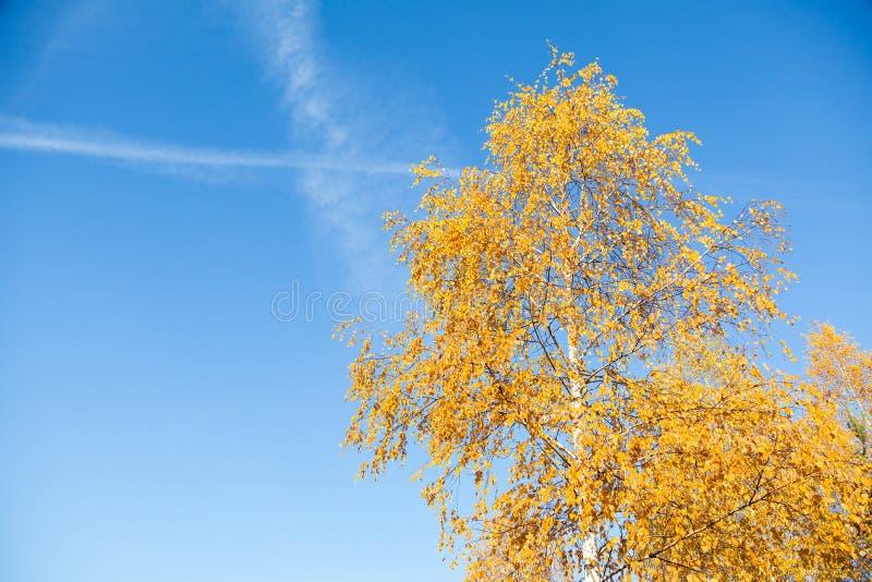 Foglie ingiallite della betulla su un cielo blu del fondo fotografia stock