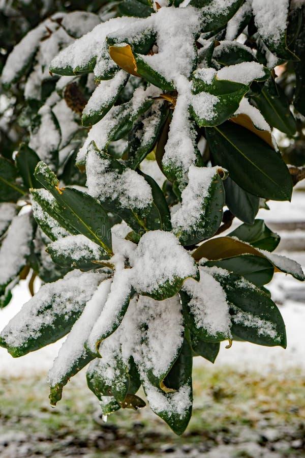 Foglie innevate della magnolia fotografia stock