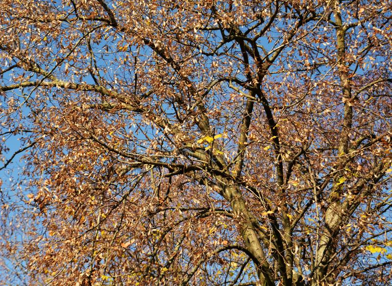 Foglie marroni gialle contro il cielo blu, sfondo naturale fotografia stock