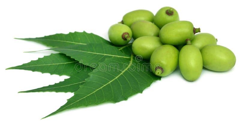 Foglie medicinali del neem con frutta fotografia stock libera da diritti