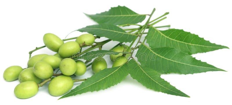 Foglie medicinali del neem con i frutti fotografia stock