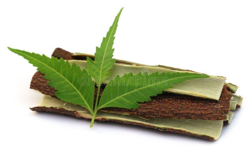 Foglie medicinali del neem con la corteccia dell'albero fotografia stock