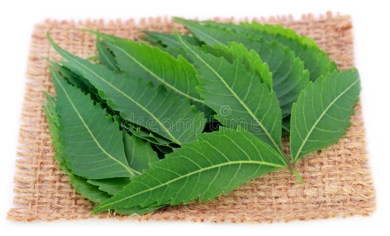 Foglie medicinali del neem su un sacco immagini stock libere da diritti