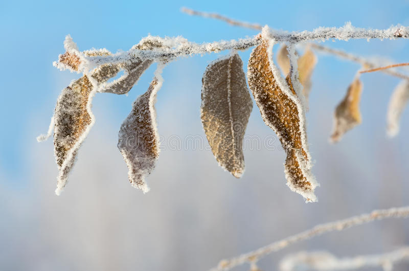 Foglie nel gelo fotografia stock libera da diritti