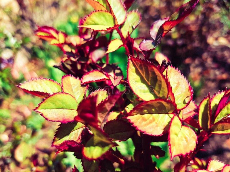 Foglie neonate delle rose con il confine rosso ed il colore verde fresco interessante fotografie stock libere da diritti