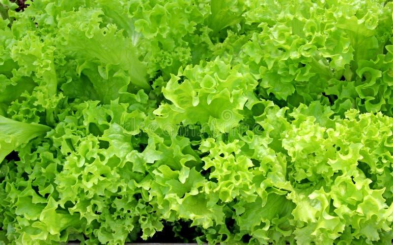 Foglie ondulate dell'insalata della verdura fresca fotografie stock