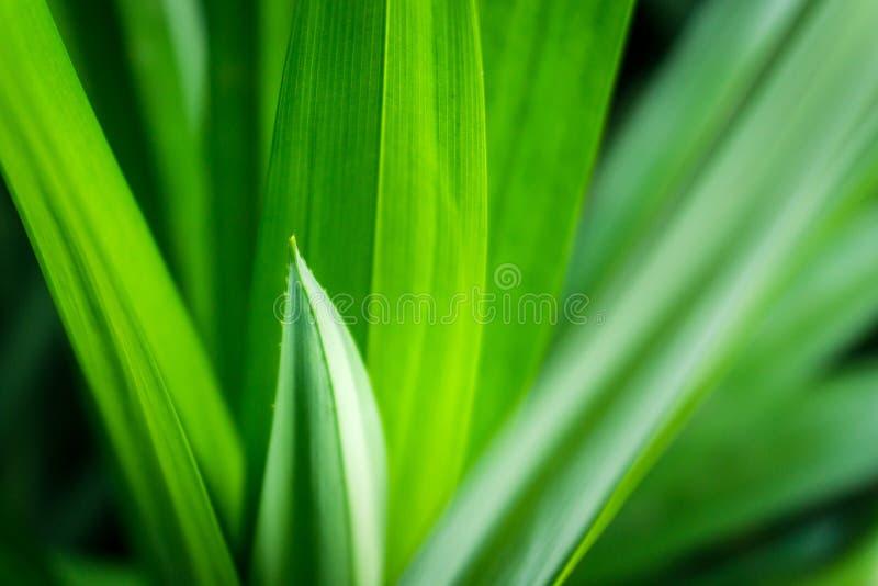 Foglie pandan verdi fresche con lo spazio della copia, il bokeh vago ed il fondo in un giardino, concetto del sole della natura fotografie stock libere da diritti