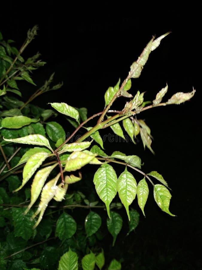 Foglie piacevoli della ciliegia alla notte fotografia stock libera da diritti