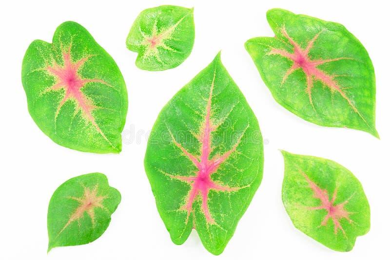 Foglie rosa verdi del caladium isolate su fondo bianco immagine stock