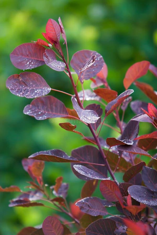Foglie rosse con le gocce dopo la pioggia su un fondo vago verde Struttura verticale immagini stock libere da diritti