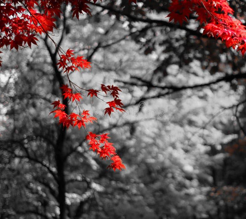 Foglie rosse della spruzzata fotografie stock libere da diritti
