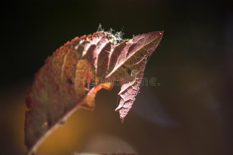 Foglie rosse di autunno, foglie incomplete, tramonto e foglie fotografie stock