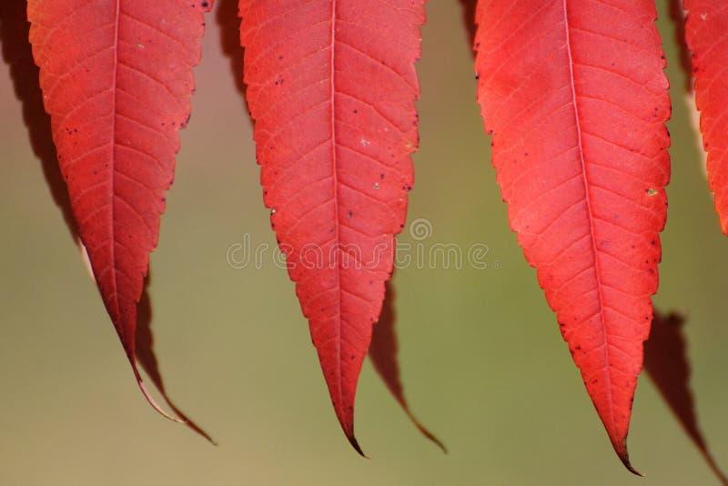 Foglie rosse di Sumac in autunno immagini stock