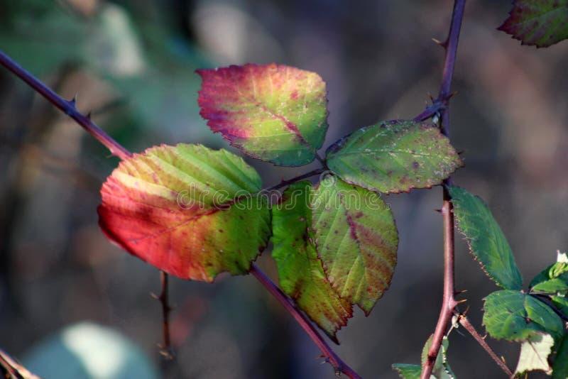 Foglie rosse, verdi e del yelow della mora in sole di pomeriggio fotografia stock libera da diritti