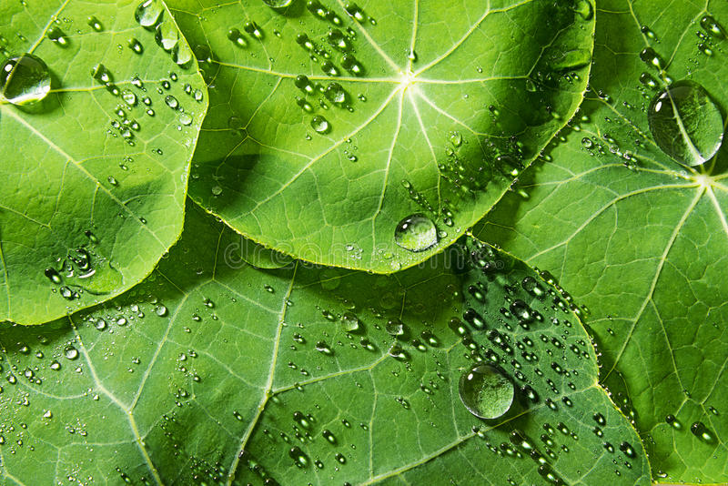Foglie rugiadose verdi della primavera fotografie stock