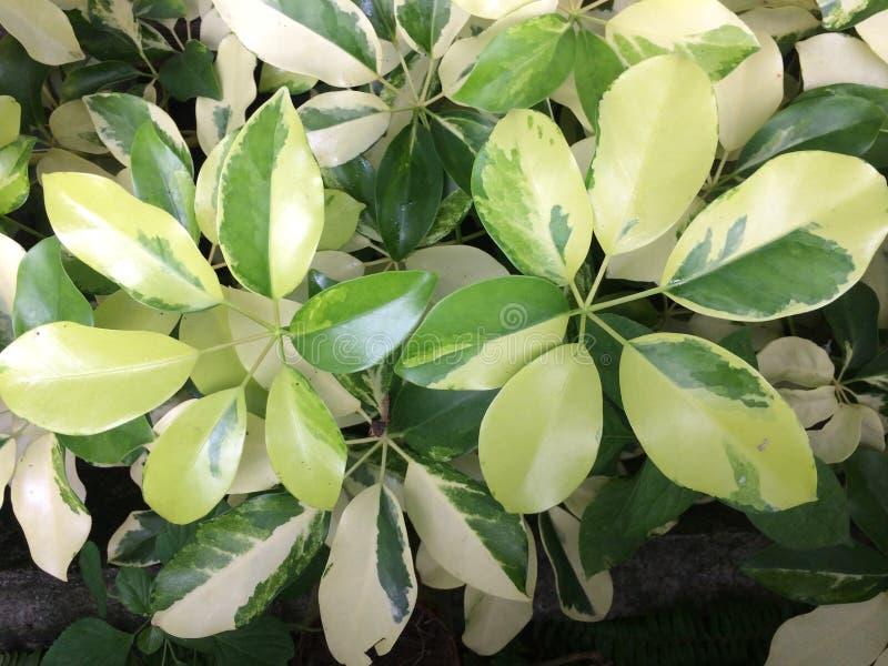 foglie spesse verdi fotografie stock libere da diritti