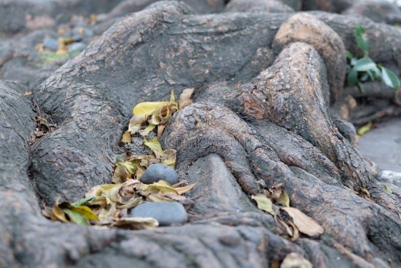foglie stucking, radice della roccia fotografia stock libera da diritti