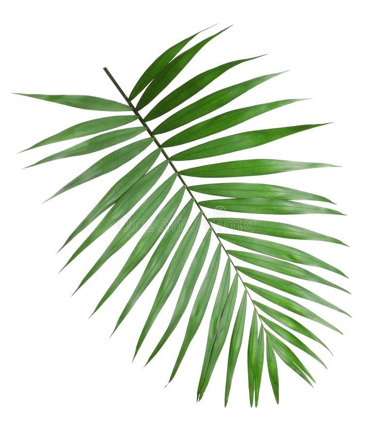 Foglie tropicali della palma di howea isolate immagini stock