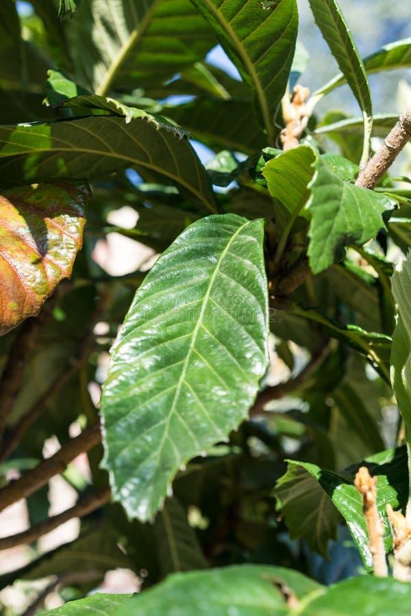 Foglie tropicali della pianta del mespel di eriobotrya japonica fotografie stock