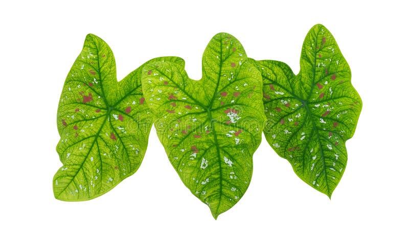 Foglie tropicali verdi della pianta del fogliame a forma di cuore isolate su fondo bianco, percorso fotografia stock libera da diritti