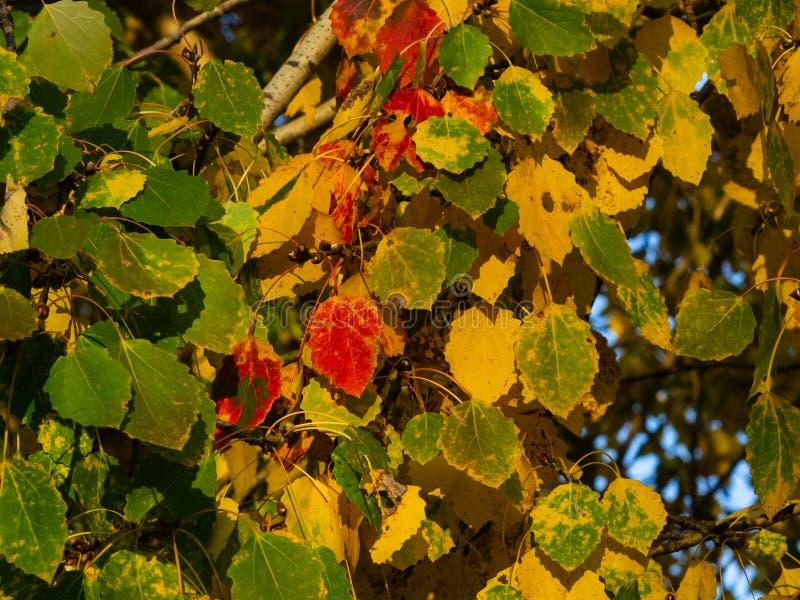 Foglie variopinte del pioppo tremolo o del populus tremula nel fondo di luce solare di autunno, fuoco selettivo, DOF basso fotografie stock libere da diritti