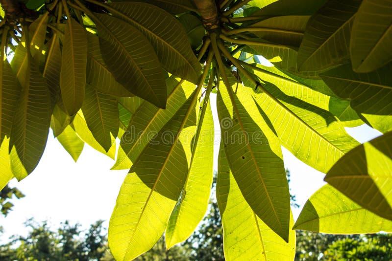 Foglie verde intenso con la luce del sole fotografie stock libere da diritti