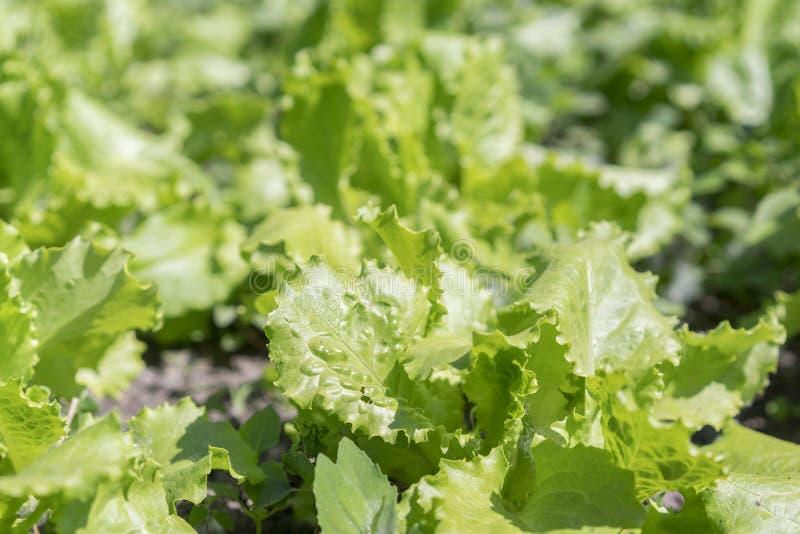 Foglie verde intenso di lattuga sul letto Foglie fresche di insalata verde sul letto Primo piano immagine stock libera da diritti