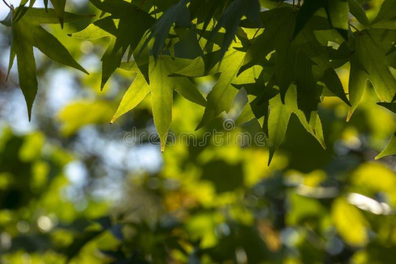 Foglie verde scuro del liquidambar styraciflua, albero di Ambeer contro l'a fuoco del cielo blu orlato immagini stock