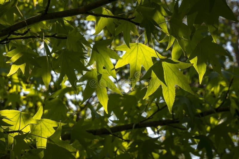 Foglie verde scuro del liquidambar styraciflua, albero di Ambeer contro l'a fuoco del cielo blu orlato immagine stock libera da diritti