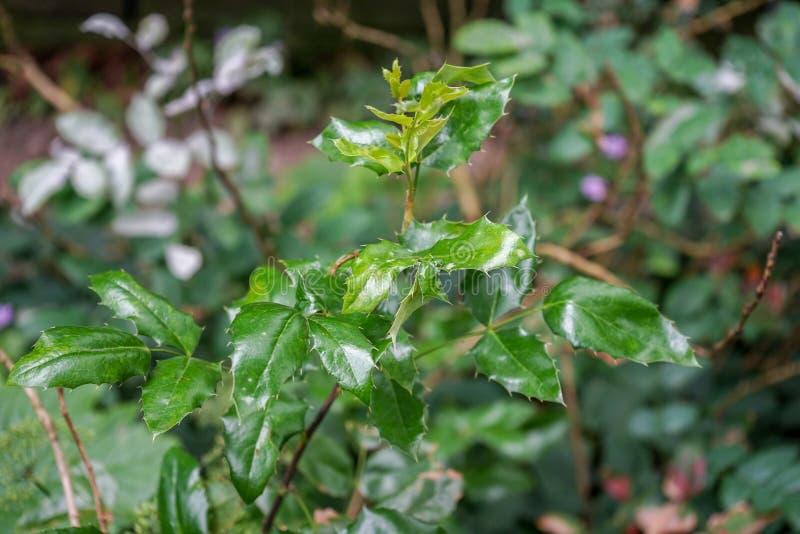 Foglie verde scuro dell'uva di Oregon, pinnata del berberis, berberidaceae fotografia stock