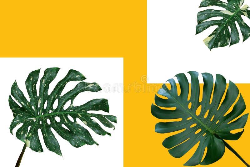 Foglie verde scuro e variegate del monstera deliciosa di Monstera royalty illustrazione gratis
