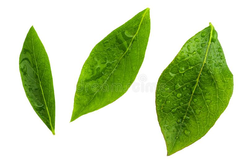 Foglie verdi anteriori del primo piano dei mirtilli blu del mirtillo rosso - vaccinium corymbosum Con le gocce di acqua immagini stock libere da diritti
