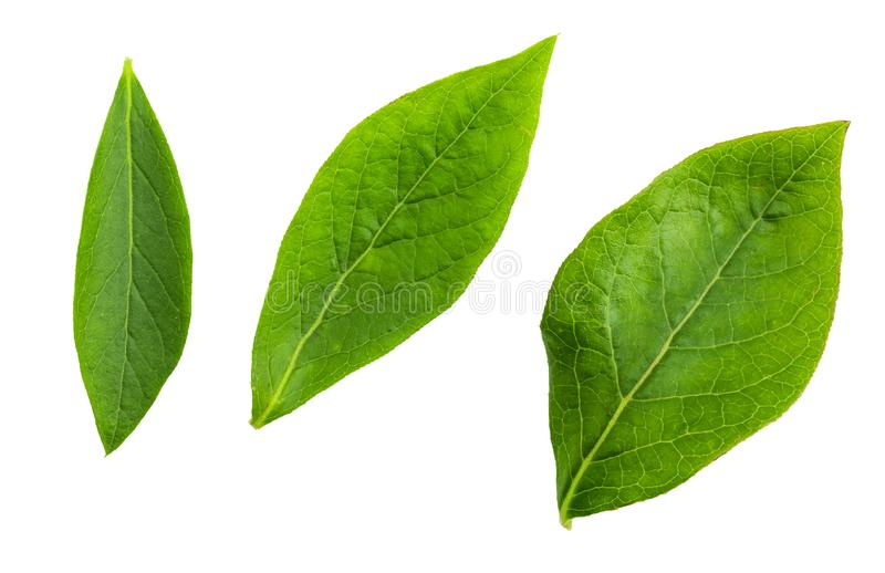 Foglie verdi anteriori del primo piano dei mirtilli blu del mirtillo rosso - vaccinium corymbosum fotografia stock libera da diritti