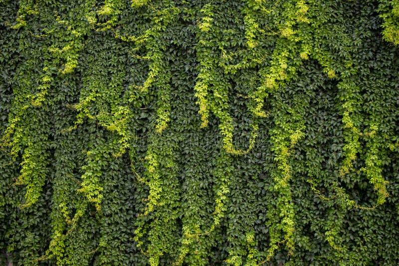 Foglie verdi come fondo della natura fotografia stock libera da diritti