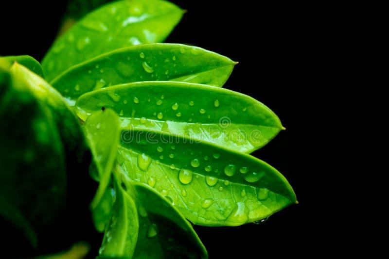 Foglie verdi con goccia di acqua su fondo nero fotografie stock libere da diritti