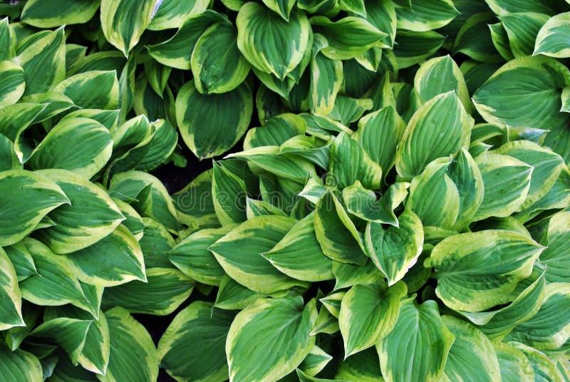 Foglie verdi con la banda bianca sull'orlo di ogni foglia, fondo organico naturale della pianta immagini stock libere da diritti