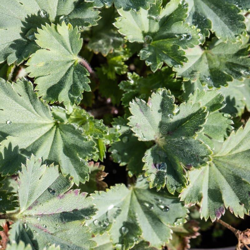 Foglie verdi con le gocce di acqua su alchimilla Erythropoda fotografia stock libera da diritti
