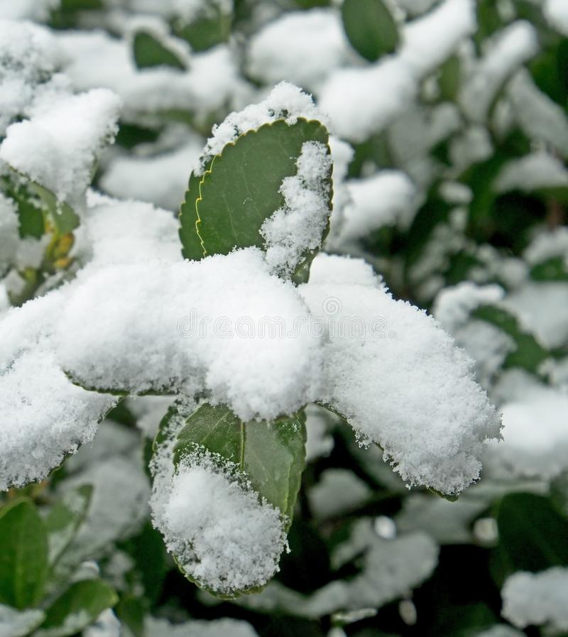 Foglie verdi coperte di neve della molla, area stretta del fuoco immagini stock