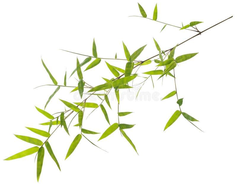 Foglie verdi del bambù isolate su bianco immagine stock