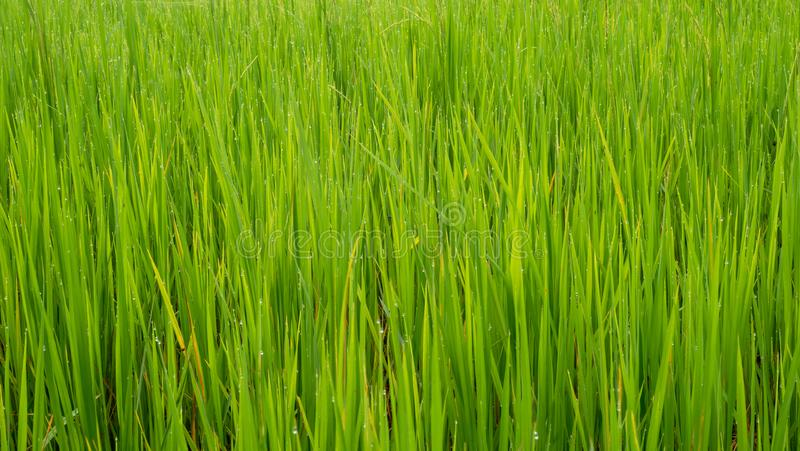 Foglie verdi del campo di erba per fondo e struttura fotografia stock